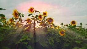 Girassóis de florescência em um por do sol do fundo florescer filme