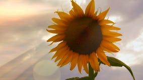 Girassóis de florescência em um por do sol do fundo florescer vídeos de arquivo