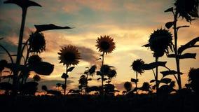 Girassóis de florescência em um por do sol do fundo Girassóis no campo que balança no vento Close-up Campos bonitos filme