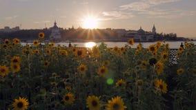 Girassóis e por do sol colorido no banco de rio, centro da cidade filme