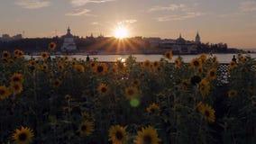 Girassóis e por do sol colorido no banco de rio, centro da cidade video estoque