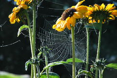 Girassóis e teia de aranha Fotos de Stock Royalty Free