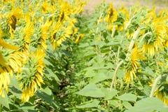 Girassóis em France Girassóis de florescência no campo Campo do girassol em um dia ensolarado Imagem de Stock Royalty Free