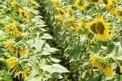 Girassóis em France Girassóis de florescência no campo Campo do girassol em um dia ensolarado Imagem de Stock