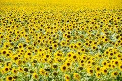 Girassóis em France Girassóis de florescência no campo Campo do girassol em um dia ensolarado Foto de Stock Royalty Free