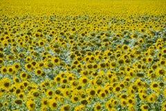 Girassóis em France Girassóis de florescência no campo Campo do girassol em um dia ensolarado Fotografia de Stock Royalty Free