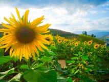 Girassóis em Tailândia, ele ` s bonito quando flor completa fotografia de stock royalty free