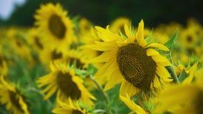Girassóis em um close-up do campo do verão filme