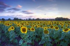girassóis em um por do sol do fundo Fotografia de Stock Royalty Free