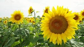 Girassóis em um sunflowerfield vídeos de arquivo