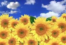 Girassóis felizes em um campo em um dia ensolarado Fotos de Stock Royalty Free