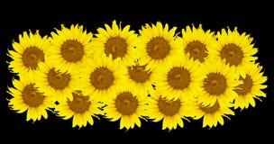 Girassóis, florescência dos girassóis Foto de Stock