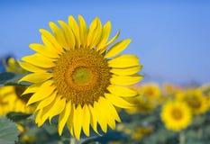 Girassóis, girassóis que florescem contra um céu brilhante Imagens de Stock