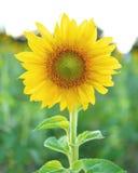 Girassóis, girassóis que florescem contra um céu brilhante, girassóis, S Imagens de Stock