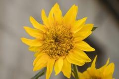 Girassóis Girassol no jardim Girassóis que florescem no sunflowe Foto de Stock Royalty Free