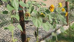 Girassóis na jarda Os girassóis em Ucrânia - uma planta muito comum e são um símbolo da beleza, bens, amor e vídeos de arquivo