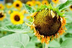 Girassóis no jardim na manhã fresca imagens de stock royalty free