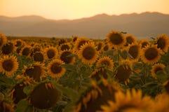 Girassóis no por do sol Fotos de Stock Royalty Free