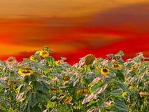 Girassóis no por do sol Fotografia de Stock