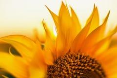 Girassóis nos campos durante o por do sol Fotos de Stock