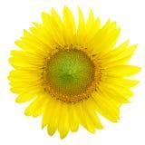 Girassóis, girassóis que florescem contra um céu brilhante, girassóis, S Imagem de Stock Royalty Free