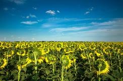 Girassóis que florescem plantas no fundo do campo da paisagem do céu Imagem de Stock Royalty Free
