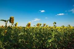 Girassóis que florescem plantas no fundo do campo da paisagem do céu Foto de Stock Royalty Free