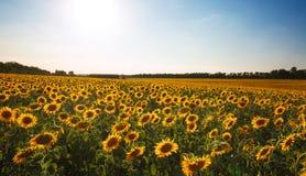 Girassóis que florescem plantas no fundo do campo da paisagem do céu Imagem de Stock