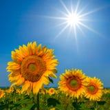Girassóis sob um sol da faísca imagens de stock royalty free