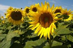 Girassol Foto de Stock Royalty Free
