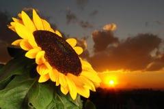 Girassol Foto de Stock