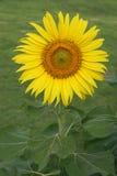 Girassol Imagem de Stock Royalty Free
