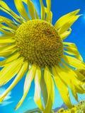 Girassol Imagem de Stock