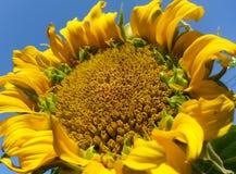 Girassol Fotografia de Stock Royalty Free