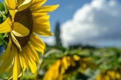Girassol Fotos de Stock Royalty Free