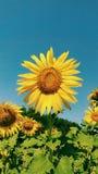 Girassol Imagens de Stock Royalty Free