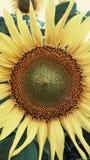 Girassol Fotografia de Stock