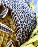 Girassol, açafrão de prado do açafrão Imagem de Stock