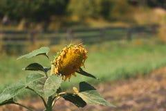 Girassol amadurecido no jardim, iluminado pela luz solar brilhante fotos de stock royalty free