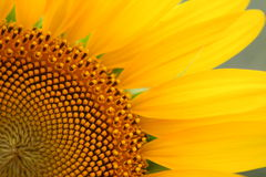 Girassol amarelo Foto de Stock Royalty Free