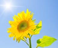 Girassol amarelo Imagem de Stock Royalty Free