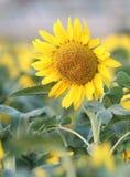 Girassol amarelo Imagens de Stock Royalty Free