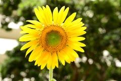 girassol amarelo imagem de stock