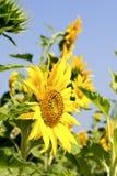 girassol amarelo Fotos de Stock Royalty Free