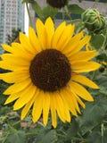 Girassol amarelo bonito Fotografia de Stock Royalty Free