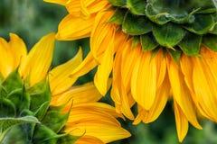 Girassol amarelo brilhante imagens de stock