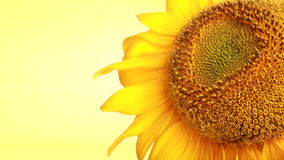 Girassol amarelo brilhante foto de stock