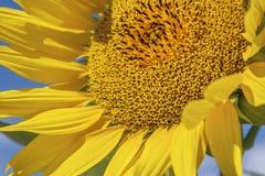 Girassol amarelo brilhante no fundo do céu azul imagem de stock royalty free