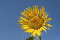 Girassol amarelo brilhante no fundo do céu azul fotografia de stock