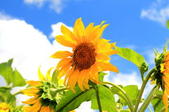 Girassol amarelo contra o céu azul Foto de Stock